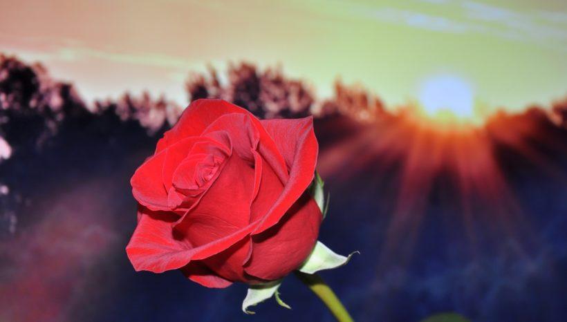 Ouverture de la Rose du Coeur
